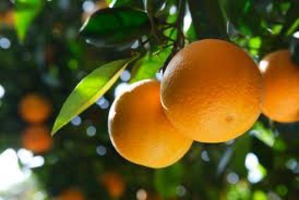 Projeto assegura mercado para produtores de laranja